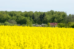 Fields of yellow rape Royalty Free Stock Images