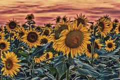 Sunflowers fields. Fields of yellow sunflowers inspire liveliness and care for the environment and ecology royalty free stock images