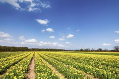 Fields of yellow tulips in spring Stock Images