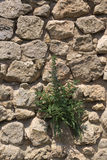 Fieldstone Wall With Blueweed. A fieldstone wall with blueweed (Echium vulgare) growing on it Royalty Free Stock Photo