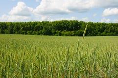 Fielf di grano contro lo sfondo della foresta e dell'estate blu Fotografie Stock Libere da Diritti