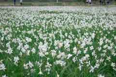 Fielf van wilde witte narcissuses die op groene de lenteweide bloeien royalty-vrije stock fotografie