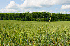 Fielf of wheat against the background of forest and blue summer Royalty Free Stock Photos