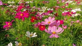 Fiels of beautiful Pink, violet and White Cosmos hybrid blooming on green leaves of bush, under sunnlight morning. In public park stock photos