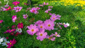 Fiels of beautiful Pink, violet and White Cosmos hybrid blooming on green leaves of bush, yellow petals of marigold on background. Public park stock photography