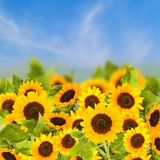 Fiels of sunflowers in sunny day Stock Photography