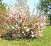 Fieltro de las flores de cerezo de Bush Fotografía de archivo libre de regalías