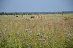 Fienagione, estate, Russia, paesaggio, luglio Fotografie Stock
