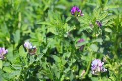 Fienarola dei prati di fioritura Fotografia Stock Libera da Diritti