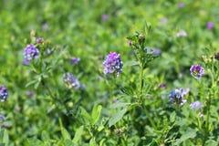 Fienarola dei prati di fioritura Fotografie Stock Libere da Diritti