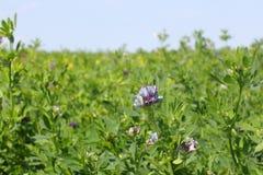 Fienarola dei prati di fioritura Fotografia Stock