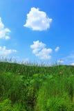 Fienarola dei prati e cielo blu con le nuvole bianche Fotografia Stock