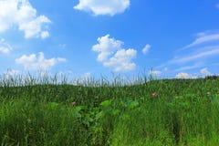 Fienarola dei prati e cielo blu con le nuvole bianche Immagini Stock Libere da Diritti