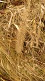 Fieno del paese Chiuda su su un'erbaccia Fotografia Stock Libera da Diritti