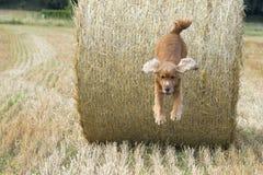 Fieno di salto di cocker spaniel del cucciolo del cane Immagine Stock Libera da Diritti