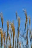 Fieno dorato che va alla deriva sopra il cielo blu fotografia stock