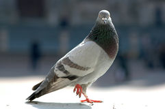 Fier Pigeon royalty free stock photo