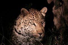 Alert leopard in the spotlight. Fierce African leopard Panthera pardus pardus photographed during a balmy African night, ready to jump. This magnificent animal stock photos