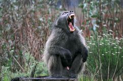 Fierce Baboon Stock Photo