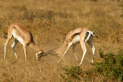 The fierce battle of two Grant´s Gazelles Stock Image