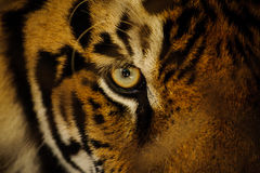 Fierce Bengal tiger eye looking. Close up stock photos