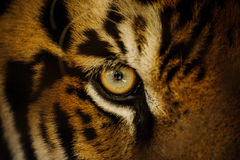Fierce Bengal tiger eye looking. Close up stock photography