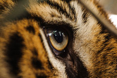 Fierce Bengal tiger eye looking. Close up stock images
