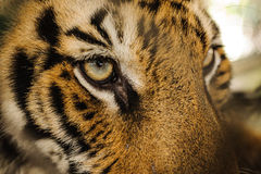 Fierce Bengal tiger eye looking. Close up royalty free stock photos