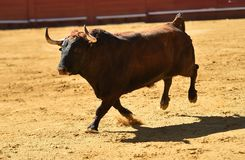 Fierce bull in the bullring with big horns. Brave and strong bull in the bullring in spain with big horns stock photography