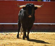 Fierce bull in the bullring with big horns. Brave and strong bull in the bullring in spain with big horns royalty free stock images