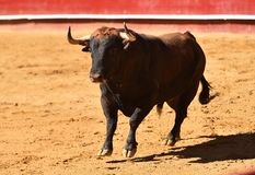 Fierce bull in the bullring with big horns. Brave and strong bull in the bullring in spain with big horns royalty free stock image