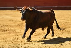 Fierce bull in the bullring with big horns. Brave and strong bull in the bullring in spain with big horns stock images