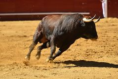 Fierce bull in the bullring with big horns. Brave and strong bull in the bullring in spain with big horns stock photo