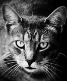 Fierce. A cat on the hunt royalty free stock images