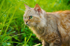 Fierce cat. I saw my cat walking in the grass Royalty Free Stock Images