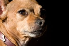 Fierce chihuahua Royalty Free Stock Images