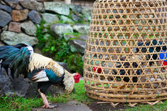 Fierce cock try to fight with rival in bamboo coop. Breeding, training gamecocks and cockfighting at village festivals are traditional hobby of Balinese people Stock Photography