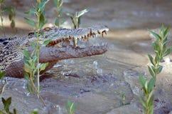 Fierce Crocodile. Australian saltwater crocodile (crocodylus porosos) on muddy estuarine river bank stock photos