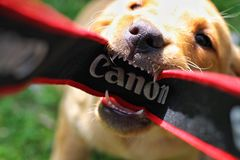 A fierce dog damaging a camera. A fierce dog biting and chewing the strap of a Canon camera as a photographer tries to take a picture in an insurance claim image stock image
