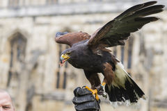 Fierce Falcon. United Kingdom flag on a windy day royalty free stock images