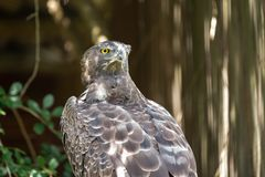 The fierce gaze of a Martial Eagle. At the African Raptor Centre, Natal Midlands, South Africa stock images