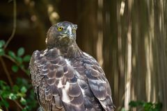 The fierce gaze of a Martial Eagle. At the African Raptor Centre, Natal Midlands, South Africa royalty free stock photos