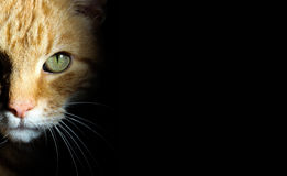 Fierce ginger cat stares into camera from black background. Fierce striped ginger cat stares into camera from black background with large green eyes and white Stock Images