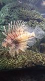 Fierce Lion Fish. Pretty cool to see these animals up close to appreciate their uniqueness and beauty royalty free stock images