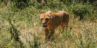 Fierce. A lion walking in the grass field royalty free stock images