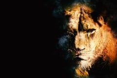 Free Fierce Lioness Predator On Black Background Stock Photos - 160836923