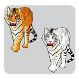 Fierce looking tiger. Vector illustration of an orange and white tiger Royalty Free Stock Photography
