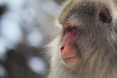 Fierce Macaque. A monkey watches over the rest of his family on a snowy day in Japan. He will keep them safe as they relax in a nearby hot spring royalty free stock image