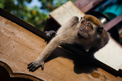 Fierce monkey Royalty Free Stock Photo