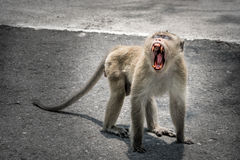 Fierce monkey lives in a natural Stock Photo